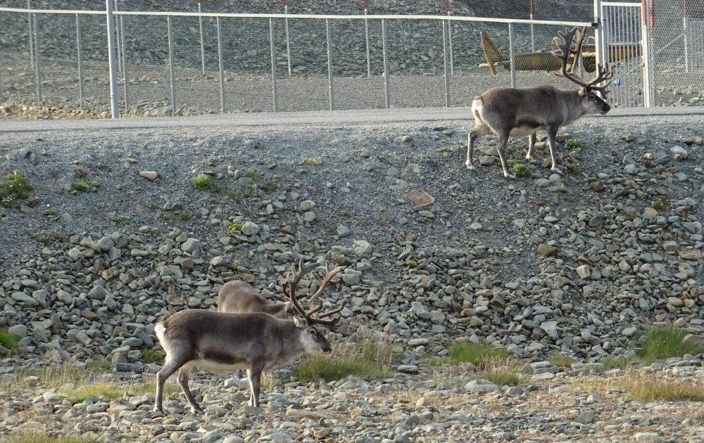 Longyearbyen-Svalbard-reindeer