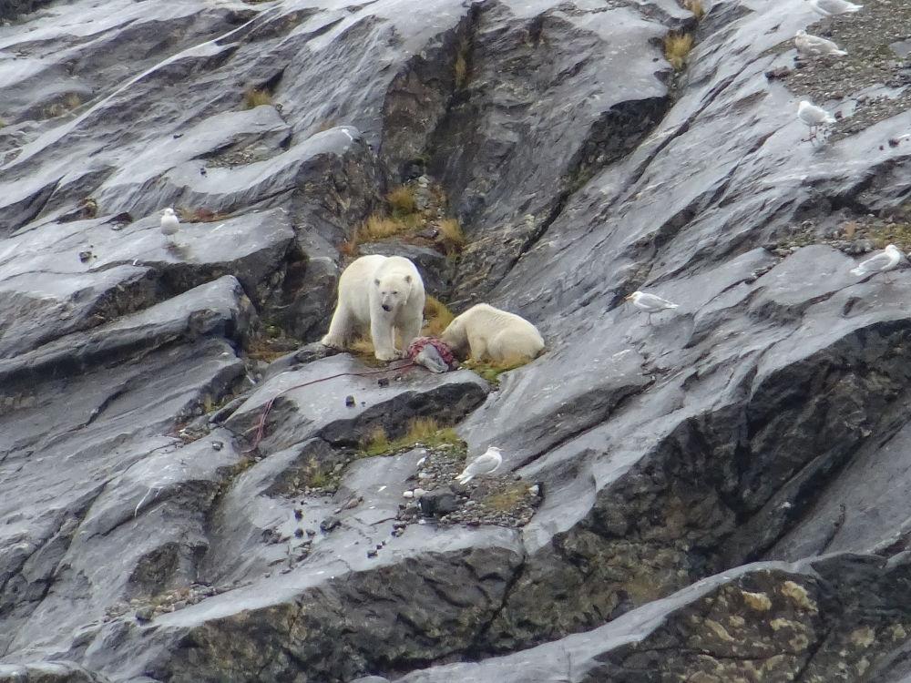 Orso polare - Artico