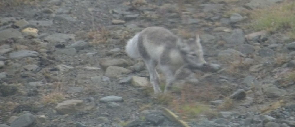 Arctic fox - Arctic